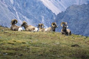Rocky Mountain National Park with Bighorn Rams Image